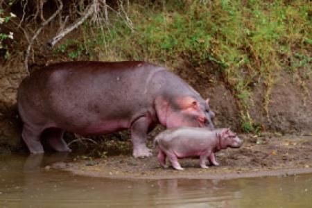 Nijlpaarden van Pablo Escobar
