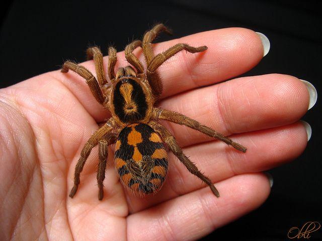 Vakantieganger neemt per ongeluk tarantula uit Colombia mee